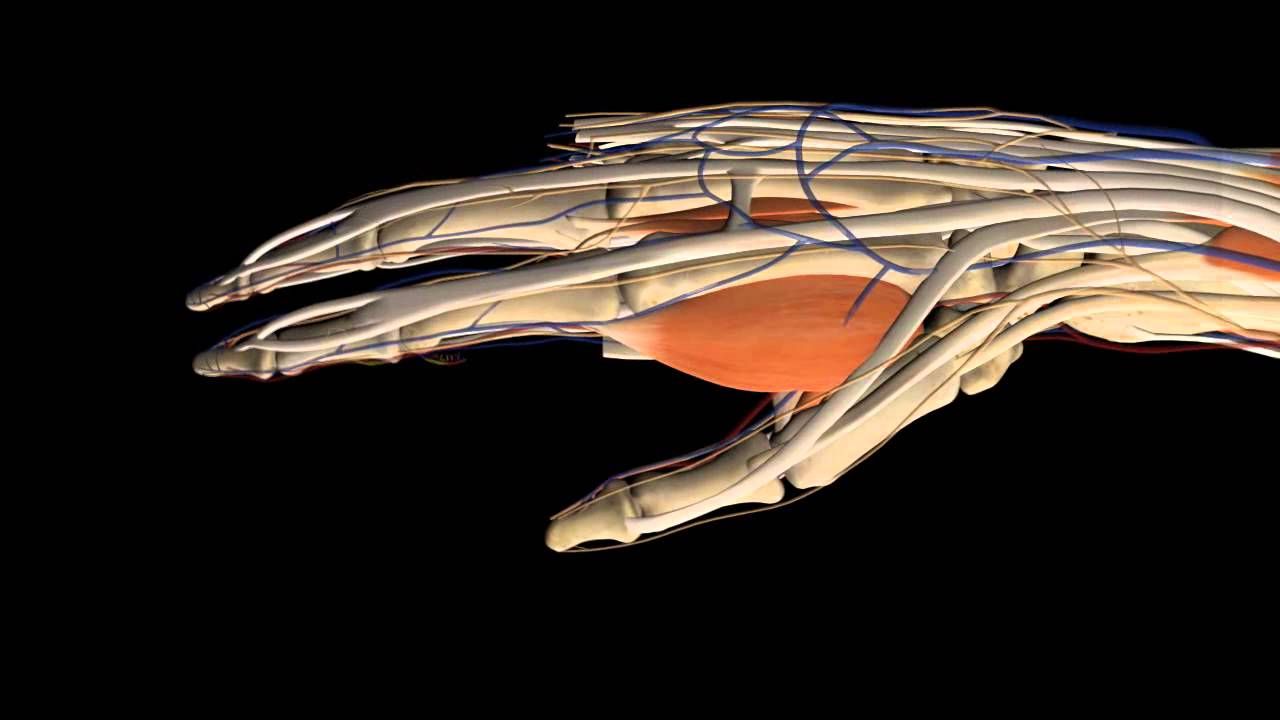 3D Human Anatomy Animation forearm and hand - YouTube