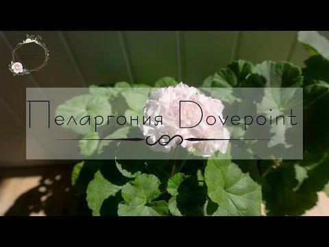 Пеларгония Dovepoint