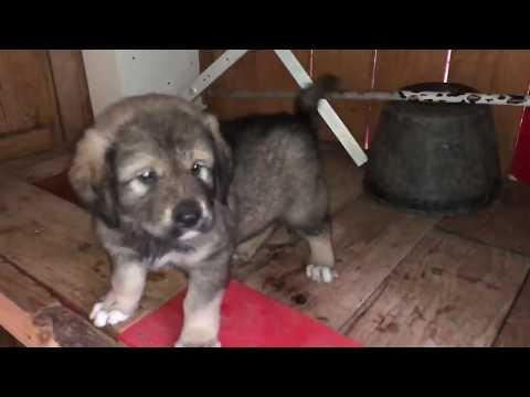 45 days Illyrian Shepherd Puppie purebreed