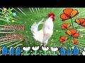 Ayam Jago Suara Ayam Berkokok Ayam Jantan