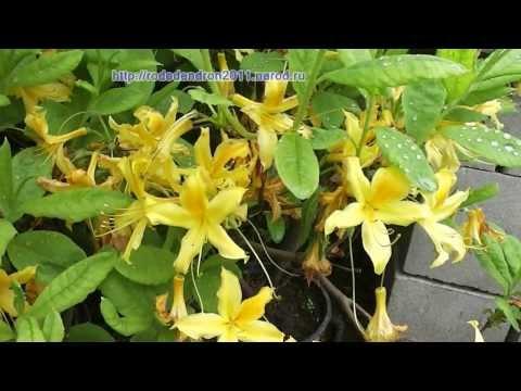 Что такое рододендрон, как растут рододендроны, виды