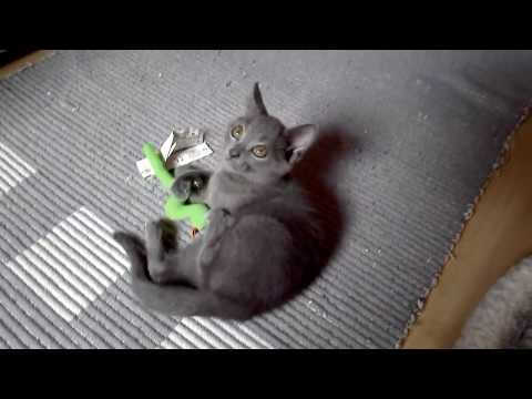 Blue Melody Chartreux Cats - IVOR 8 weeks old