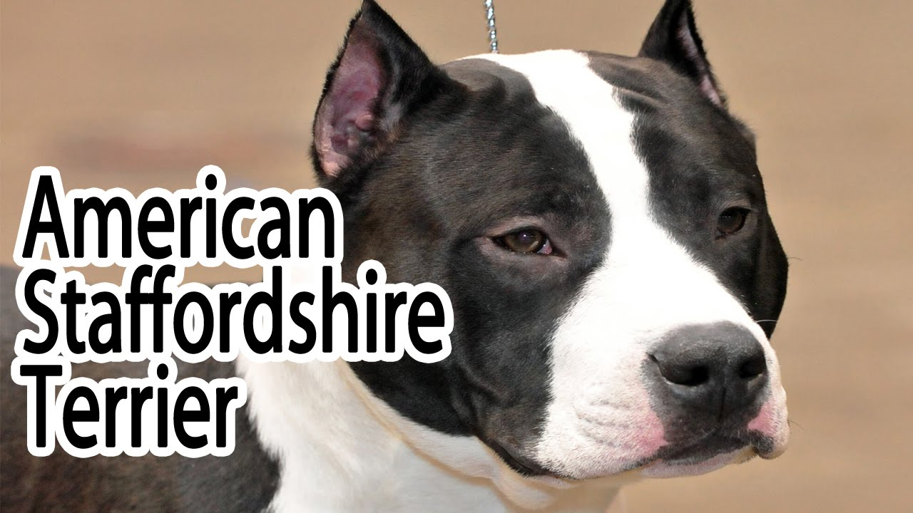 American staffordshire terrier breed youtube american staffordshire terrier breed geenschuldenfo Image collections