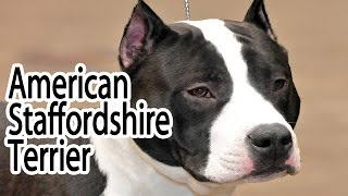 American Staffordshire Terrier Breed
