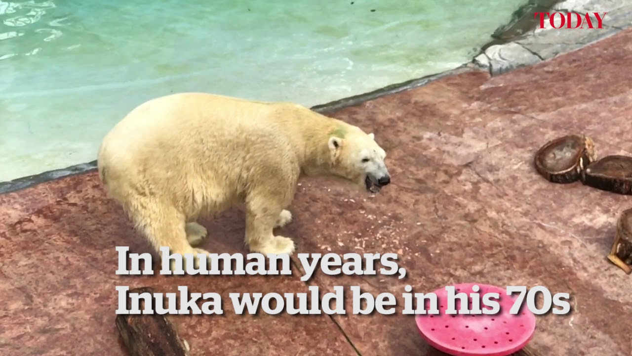 Inuka the polar bear turns 27 - YouTube