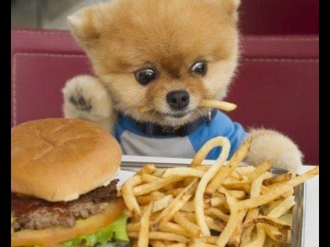 funniest Pomeranian pom pom videos|cute puppies having fun ...