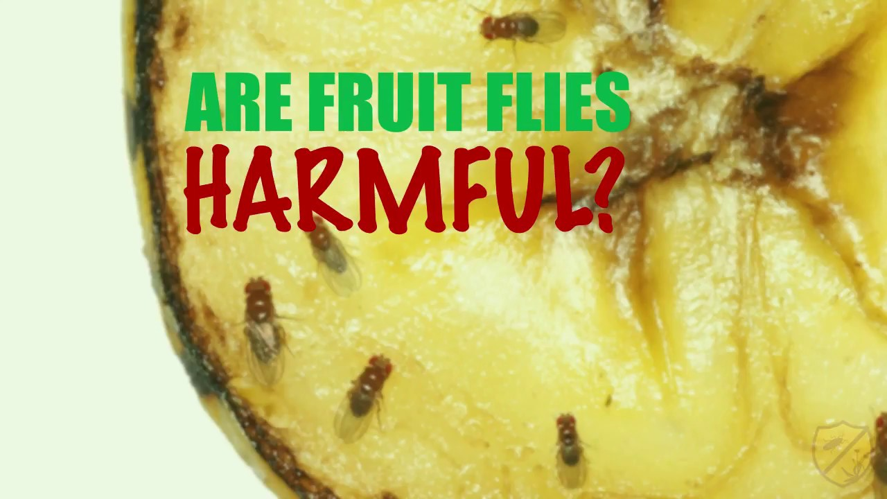 Are Fruit Flies Harmful?   Custom Weed and Pest Control