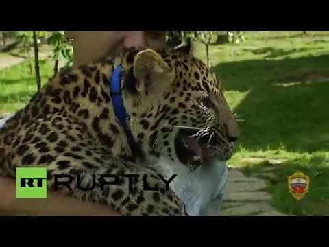 Russia: This playful leopard was found wandering the streets of Moscow