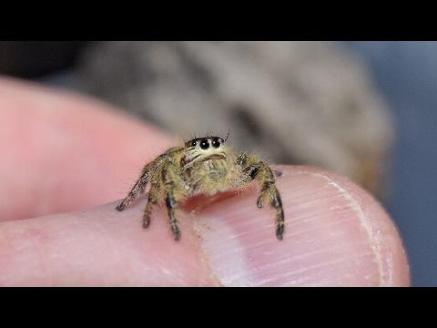 BEST TAKEDOWN YET!!!! Hyllus diardi hunts down a fly on my hand.