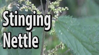 Survival Food - Stinging Nettle