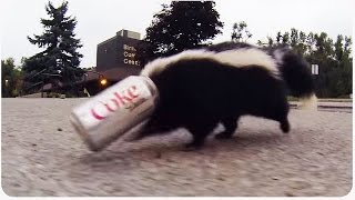 Skunk Gets Head Stuck in Soda Can