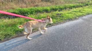 散歩する山陰柴犬さくらです。