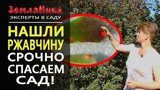Ржавчина на груше. Как лечить болезни плодовых деревьев. Ржавчина на листе.