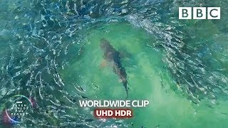 Shark devours on a wall of Mullets  - Seven Worlds, One Planet | BBC Earth