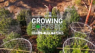 GROWING EXPOSED SEASON 2 EPISODE 6: Dragon With Matches/Royal Gold Soils
