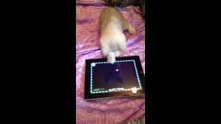 Игра для кошек на планшете