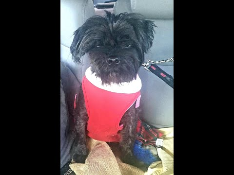 Libby, a Terrier-Shih Tzu mix, is available for adoption through Cairn Rescue USA