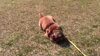 オーストラリアン・ラブラドゥードルのメイと初めて会ってボール遊びを...