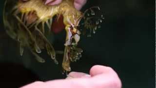Blind leafy sea dragon Lucky