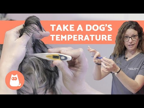 Pet Corner - How to Take a DOG's TEMPERATURE - Only Reliable Method