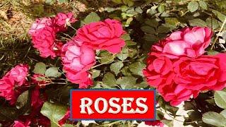 Roses -Saint Jhn. Remix - No Copyright