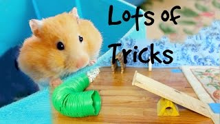 Training my hamster tricks!