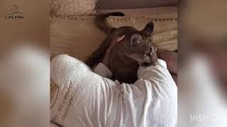 Пума пытается разбудить хозяина