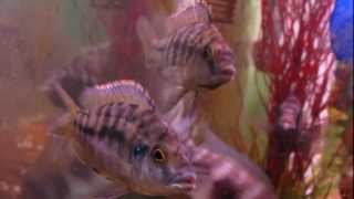 "Protomelas spilonotus ""Ovatus"" Mara Rocks Hap. Ovatus / Hap Sulphur Head (HD)"