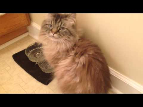 how to groom a persian cat at home