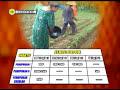(Bag. 2) Teknologi Produksi Jagung Tanpa Olah Tanah (TOT)