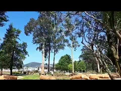 Espectacular derribo de un eucalipto en un parque de Covas
