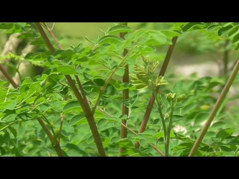 Moringa farm organic bio Superfood Ghana Deutschland