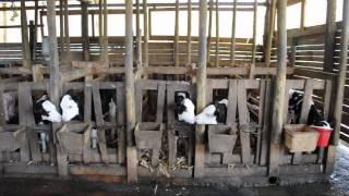 Huérfanos de la leche: la industria de los lácteos en Chile