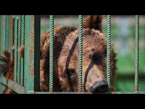 Нетрезвый житель Аткарска пытался залезть в вольер к медведю