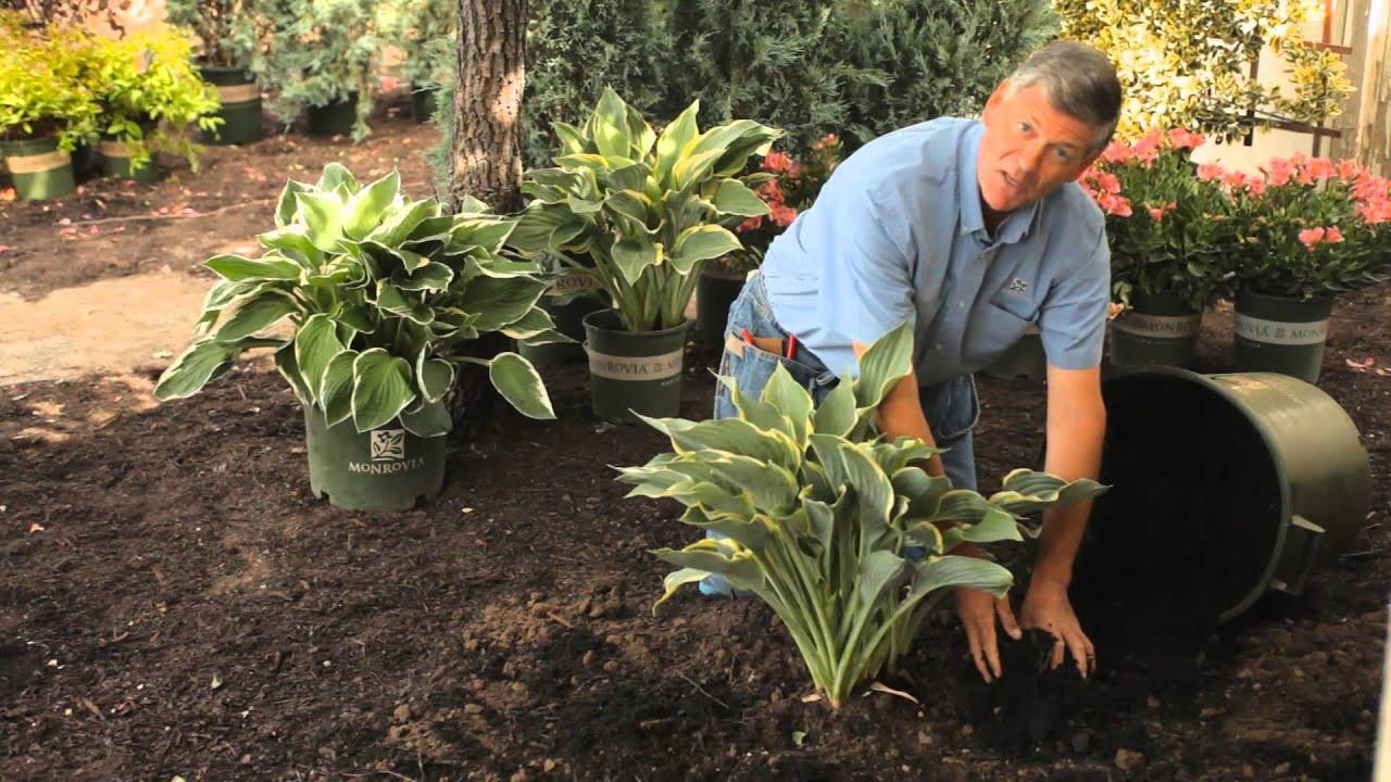 How to mulch hostas garden savvy youtube for How to landscape a garden
