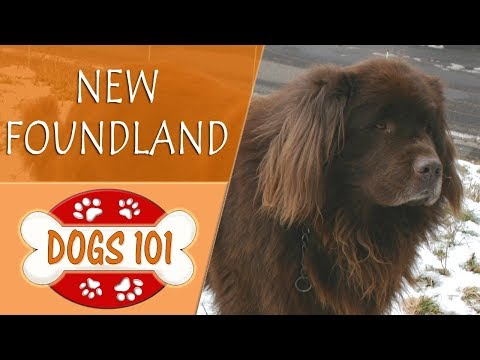 Dogs 101 - NEWFOUNDLAND - Top Dog Facts About the NEWFOUNDLAND