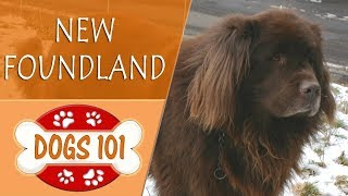 Dogs 101  NEWFOUNDLAND  Top Dog Facts About the NEWFOUNDLAND