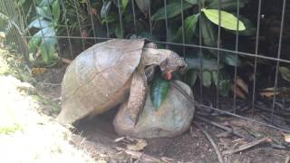 Fred the Tortoise - Making love to a rock - FUNNY.