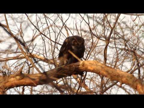 Female Great Horned Owl Eats Little Blue Heron, April 12, 2014
