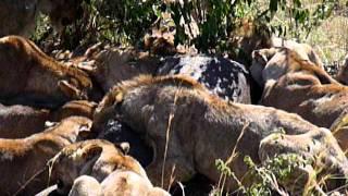 A pride of lions eating a male hippo in the Maasai Mara, Kenya.