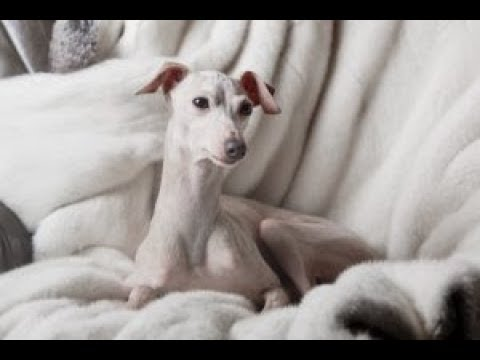 Health Concerns For Italian Greyhound Dogs