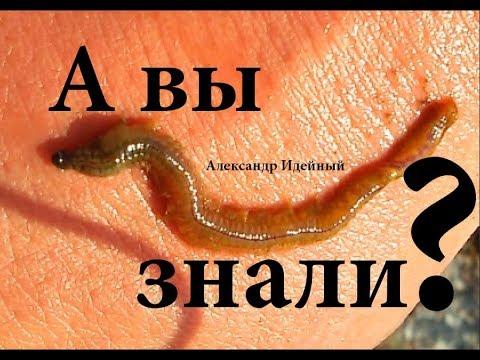 Где как копать морской червь