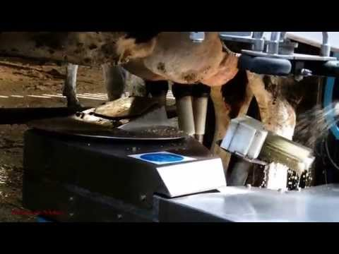 Cows Being Milked by Robot  - Fullwood Robot Milker in Action.