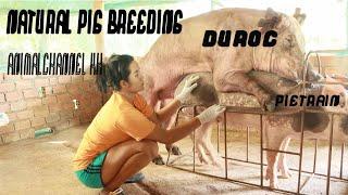 Watch the full activity of pig breeding / Duroc & Pietrain -Animal Channel KH
