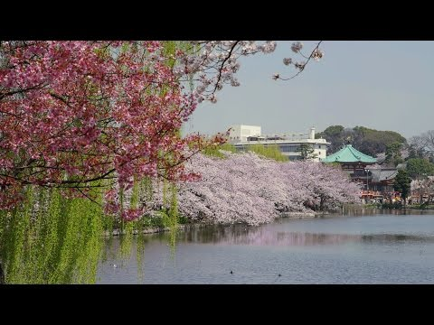 [ 4K Ultra HD ] 上野公園の桜 Cherry Blossoms at Ueno Park (Shot on RED EPIC)