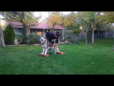 alaskan malamute Dog show training