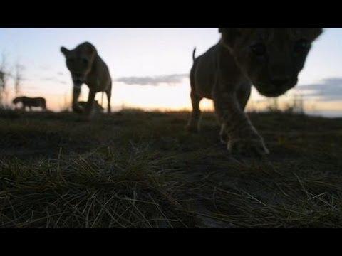 Lion Steals Television Camera