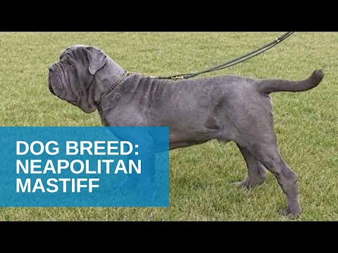 Dog Breed Video: Neapolitan Mastiff