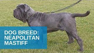 Dog Breed Video: Neapolitan Mastiff