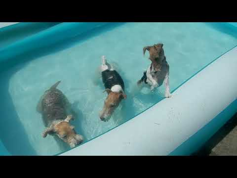 Fox Terriers at a Pool Party